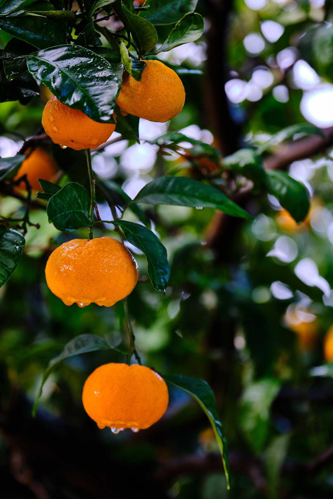 Dalmatínske mandarínky